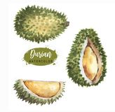 Hand drawn watercolor illustration of fruit durian Royalty Free Stock Images