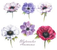 Hand-drawn watercolor illustration of the isolated anemones flowers. Tender spring drawing of violet, pink and white anemones flowers on the white background Royalty Free Illustration