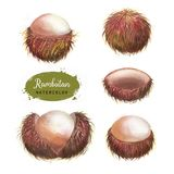 Hand drawn watercolor illustration of isolated rambutan fruits stock photography