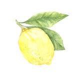 Hand drawn watercolor illustration - Lemon. Stock Photography