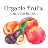 Hand-drawn Watercolor Illustration Of Fresh Ripe Fruits - Orange Peaches, Plums And Apricots Royalty Free Stock Photo