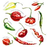Hand-drawn watercolor illustration of peppers. vector illustration