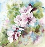 Watercolor illustration pink blooming cherry blossom in spring vector illustration