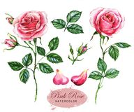 Hand-drawn watercolor illustration of the pink roses. Botanical drawing isolated on the white background. Drawing of the flowers, leaf, buds, and petals royalty free illustration