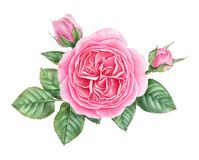 Hand drawn watercolor illustration of rose with buds and leaves Stock Illustration