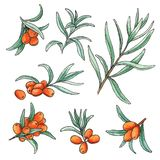 Hand drawn watercolor illustration set of sea buckthorn isolated elements on white background. vector illustration
