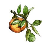 Hand drawn watercolor illustration of tangerine Stock Photography