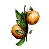 Hand drawn watercolor illustration of tangerine. Leaves and branch Royalty Free Stock Photography