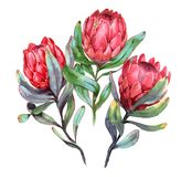 Hand-drawn watercolor illustration of three red protea flowers. Exotic tropical and colorful blossom of beautiful flowers. Isolated on the white background Stock Photo