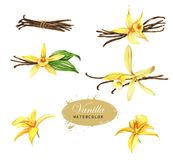 Hand-drawn watercolor illustration of the vanilla. Spices drawing isolated on the white background. Vanilla blossom, leaves, petals, flowers, and stick vector illustration