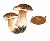 Hand-drawn watercolor illustrations of the ceps royalty free stock image