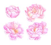 Hand drawn watercolor illustrations. Pink peonies flowers. Save