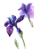 Hand drawn watercolor irises. Isolated on white background. Floral birthday card royalty free illustration