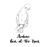 Hand drawn watercolor isolated bird Andean of the Rock with stock illustration