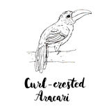 Hand drawn watercolor isolated bird Curl crested Aracari with ha. Ndwritten words lettering on white background Stock Photography