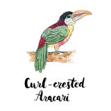 Hand drawn watercolor isolated bird Curl crested Aracari with ha. Ndwritten words lettering on white background Royalty Free Stock Photo