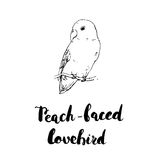 Hand drawn watercolor isolated bird Peach-Faced Lovebird with ha. Ndwritten words lettering on white background Royalty Free Stock Photo