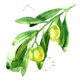 Hand drawn watercolor olive brunch. Royalty Free Stock Photo