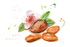 Hand drawn watercolor painting of almond  isolated on white back Stock Image