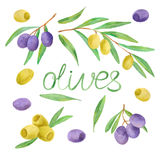 Hand drawn watercolor painting olives. Hand drawn watercolor painting on white background. Vector illustration of fruit olives Stock Images