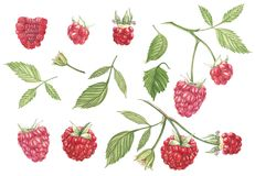 Hand drawn watercolor painting raspberry on white background. Botanical illustration. Hand drawn watercolor painting raspberry on white background. Botanical stock illustration