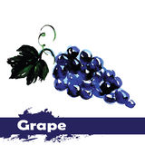 Hand drawn watercolor painting on white background. fruit grapes Royalty Free Stock Photography