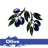 Hand drawn watercolor painting on white background.  fruit olive Stock Photography