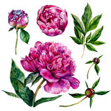 Hand drawn watercolor peonies Royalty Free Stock Images