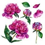 Hand drawn watercolor peonies stock illustration