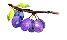 Hand drawn watercolor plum on white background stock photo