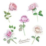 Watercolor beautiful and delicate roses set. Hand drawn watercolor roses isolated on white background. Great start for wedding cards vector illustration