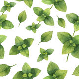 Hand drawn watercolor seamless pattern of Lemon balm. Healing Herbs for design of natural food, kitchen, textiles, market, menu Stock Image