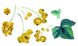 Hand drawn watercolor set of illustrations of sprigs of yellow currant with bunch of berries and green leaves Royalty Free Stock Photo