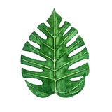 Hand drawn watercolor tropical monstera leaf isolated on the white background Stock Photography