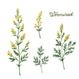 Hand drawn watercolor vector botanical illustration of wormwood. Healing Herbs for design Natural Cosmetics, aromatherapy, medicine, health products and stock illustration