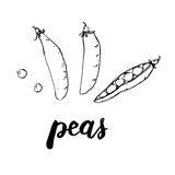 Hand drawn watercolor vegetables peas with handwritten words on stock illustration