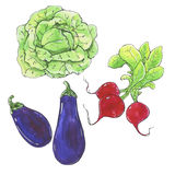 Hand drawn watercolor vegetables pumpkin radish chili  on white Royalty Free Stock Images