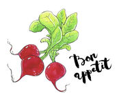 Hand drawn watercolor vegetables radish with handwritten words o Stock Photography