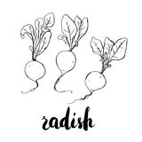 Hand drawn watercolor vegetables radish with handwritten words o Stock Image