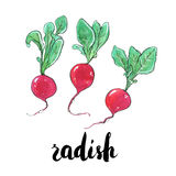 Hand drawn watercolor vegetables radish with handwritten words o Stock Photos