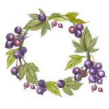 Hand-drawn watercolor wreath of flowers of Black currant and leaves illustration. Watercolor botanical illustration. Isolated on white background Stock Photography