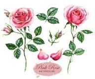 Hand-drawn waterverfillustratie van de roze rozen Botanische die tekening op de witte achtergrond wordt geïsoleerd royalty-vrije illustratie