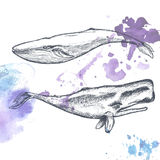 Hand drawn whales. Royalty Free Stock Image