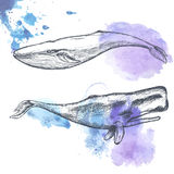Hand drawn whales. Royalty Free Stock Photos