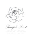 Hand drawn of white rose on white background with place for text Stock Photo