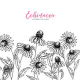Hand drawn wild flowers. Echinacea purpurea flower. Medical herb. Vintage engraved art. Border composition. Good for royalty free illustration