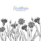 Hand drawn wild hay flowers. Cornflower flower. Medical herb. Vintage engraved art. Border composition. Good for. Cosmetics, medicine, treating, aromatherapy Stock Photography