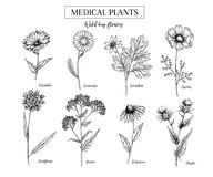Hand drawn wild hay flowers. Medical herbs and plant. Calendula, Chamomile, Cornflower, Celandine, Cosmos, Yarrow. Hand drawn wild hay flowers. Medical herbs and Stock Photo