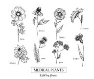 Hand drawn wild hay flowers. Medical herbs and plant. Calendula, Chamomile, Cornflower, Celandine, Cosmos, Yarrow. Hand drawn wild hay flowers. Medical herbs and vector illustration