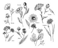 Hand drawn wild hay flowers. Medical herbs and plant. Calendula, Chamomile, Cornflower, Celandine, Cosmos, Yarrow. Hand drawn wild hay flowers. Medical herbs and Stock Photo